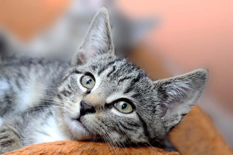 Grey cat looking up