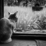 Grey cat looking out window
