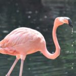 Pink flamingo in front of pond