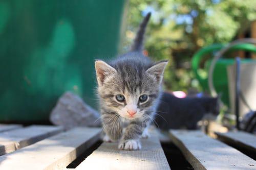 Grey kitten stalking something