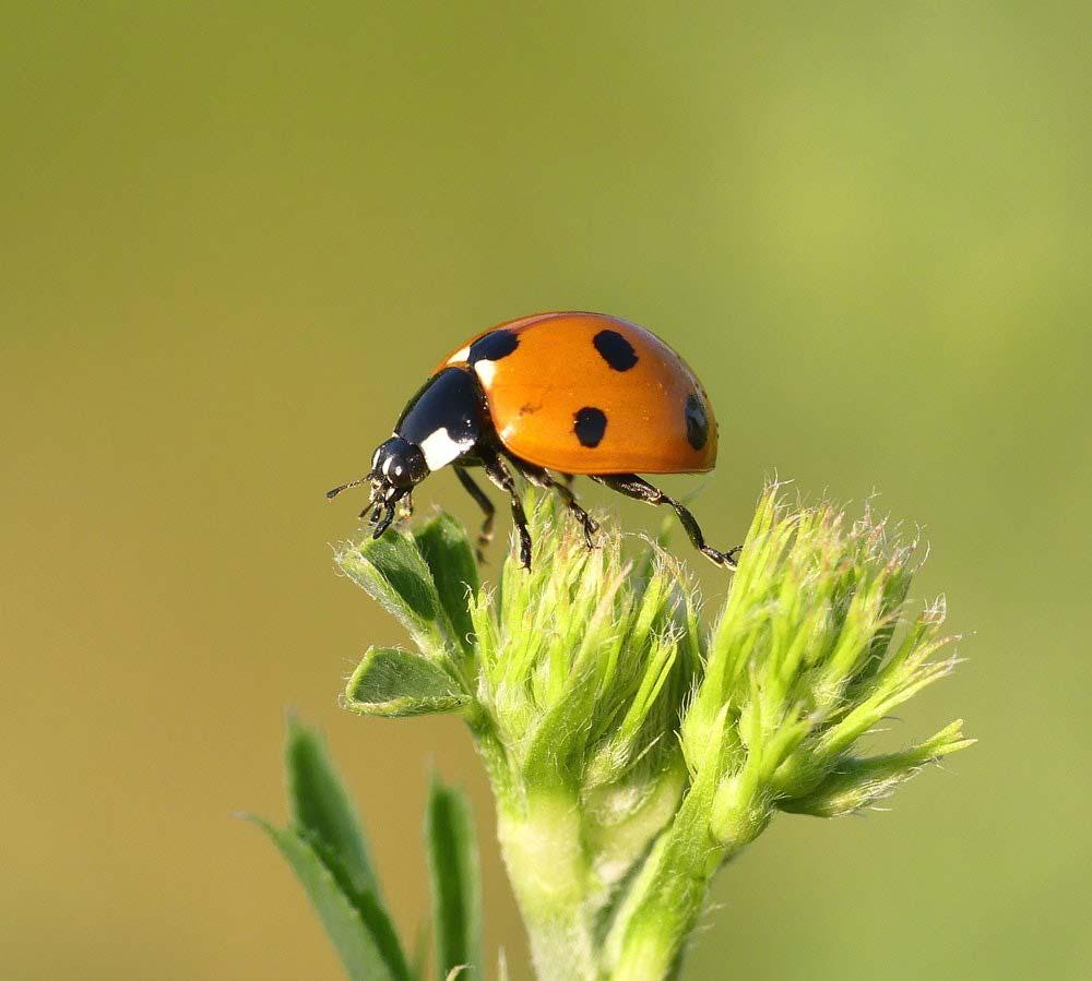 Ladybug on young plant