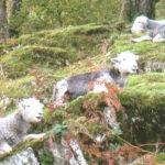 Three Herdwick lambs lying on a grassy hill
