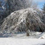 Camperdown elm tree in winter with snow