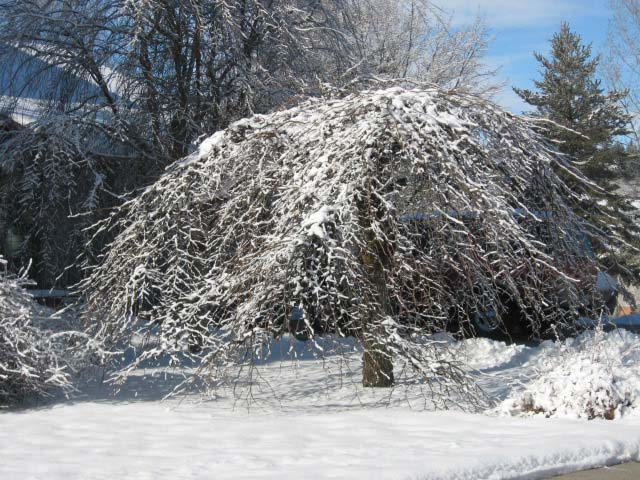 Camperdown elm tree in winter with snow
