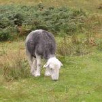 Herdwick lamb grazing