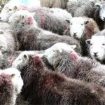 Herd of Herdwick lambs
