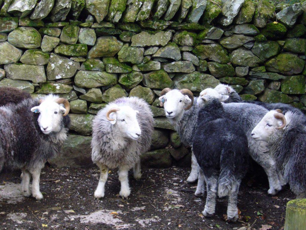 Herdwick lambs by a rock wall