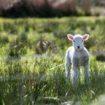 White lamb in field