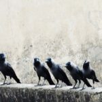 Group of crows on a ledge