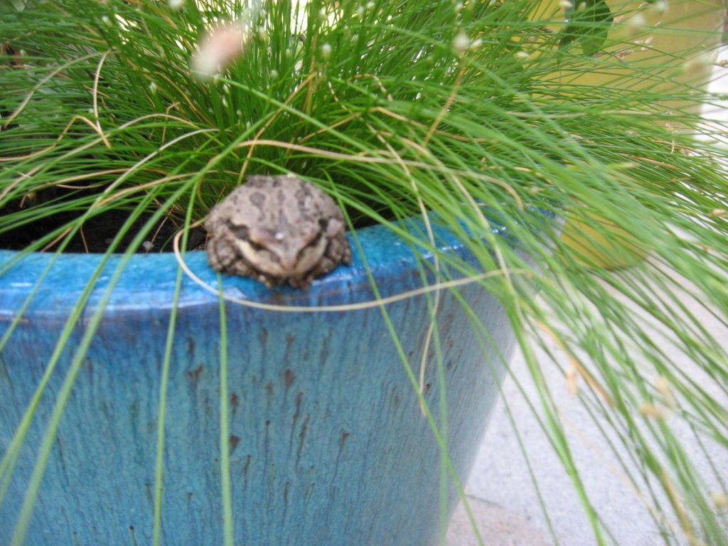 Frog sitting on edge of planter