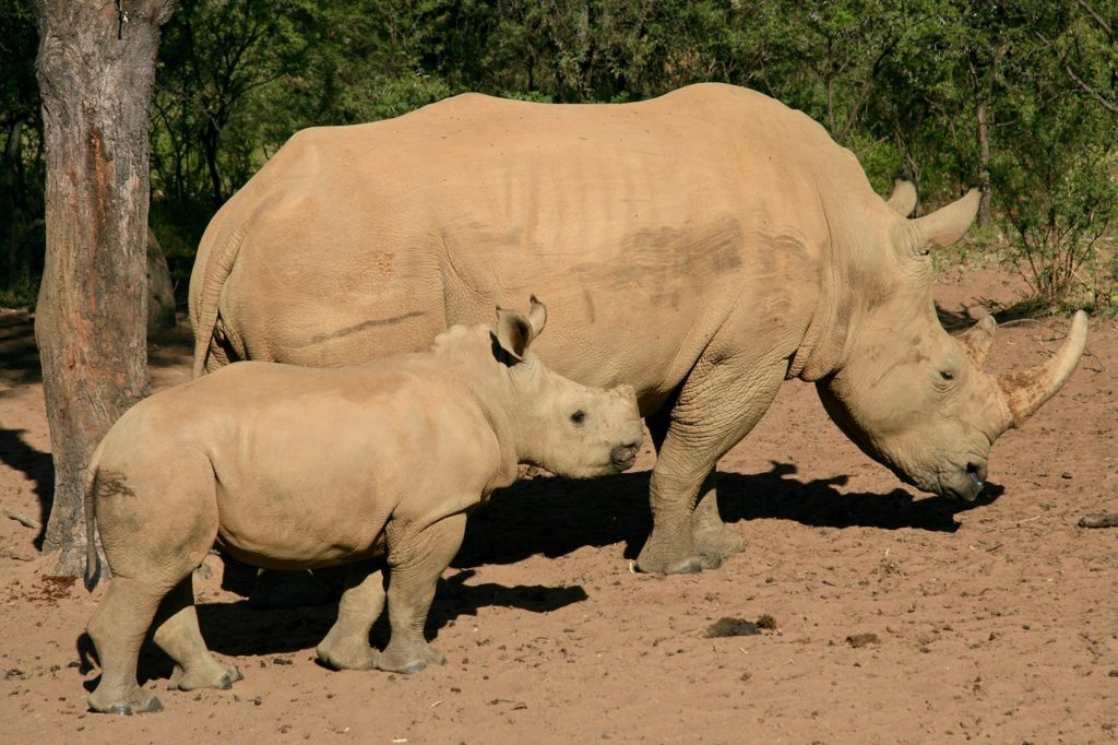 Rhinoceros mother and baby