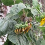 Squirrel sitting on sunflower eating seeds