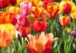 Flowers (tulips) in many colors