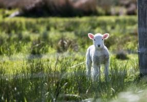 White lamb in field